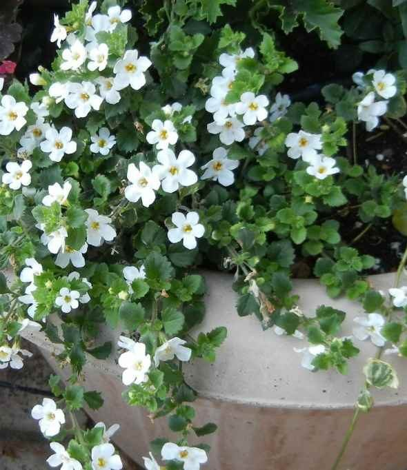 Best Container Plants Bacopa Birds And Blooms