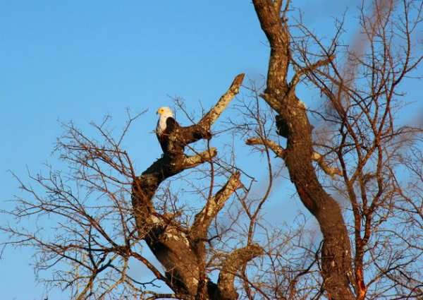Bald Eagle Tree