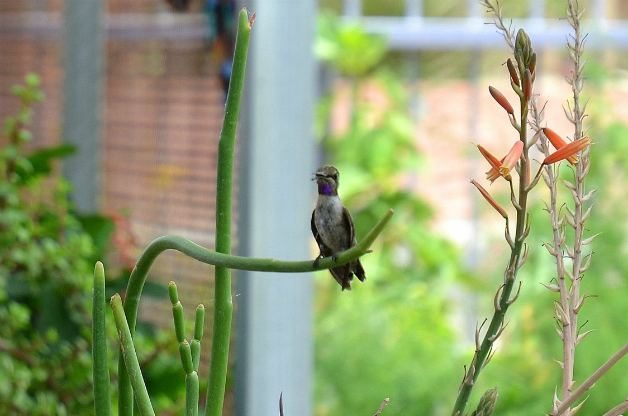 Black-chinned hummingbird_3