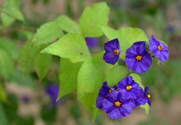 Blue Potato Bush (Solanum rantonnettii)