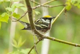This is one of the most cooperative Chestnut-sided Warblers that I have ever seen!