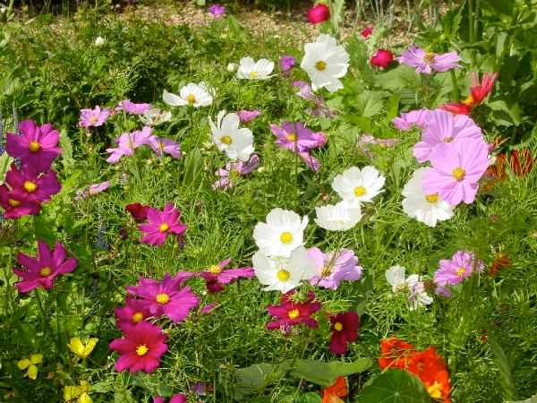 The flower garden by cs lewiss house birds and blooms cosmos mightylinksfo