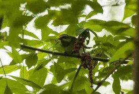 Golden-winged Warbler was one of 34 warbler species that we found during the competition.