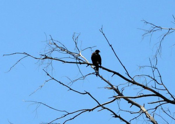 Harris hawk on the branch of a snag tree.