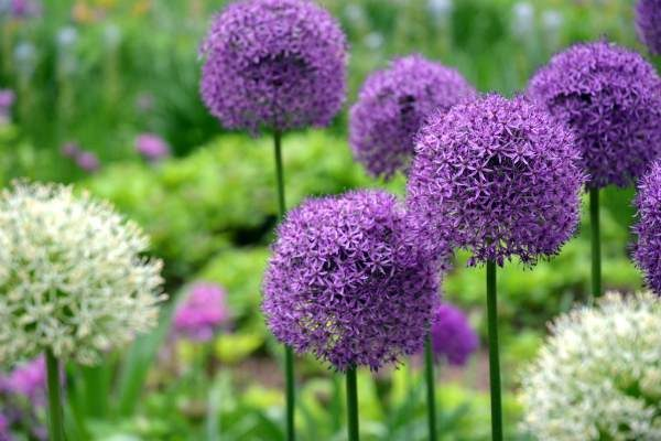 Ornamental_Allium