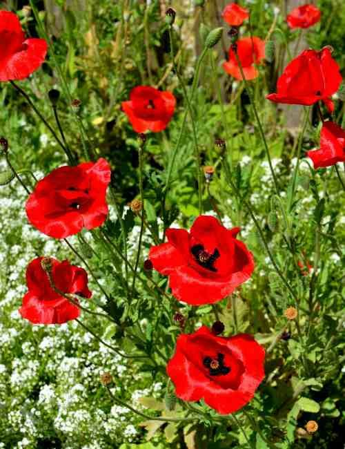 Add red poppies to your flower garden