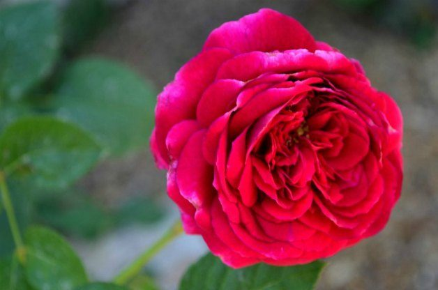 William_Shakespeare_Rose