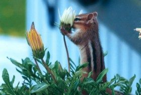 Friday Funny Photography: Chipmunk & African Daisy