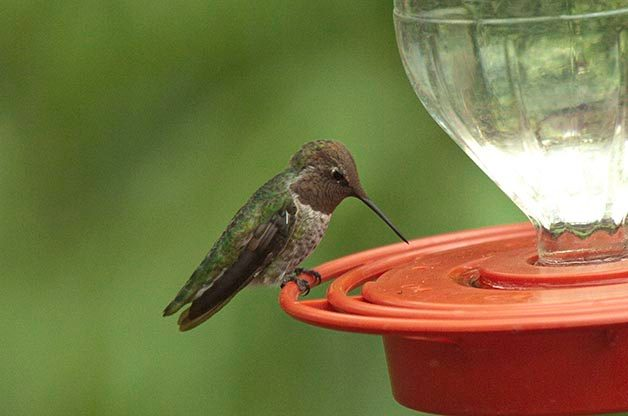 As you can see, this Anna's Hummingbird is enjoying dye-free nectar at this feeder.