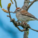 How to Identify and Attract Chipping Sparrows