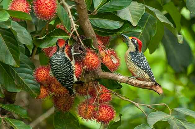 Black-cheeked Woodpecker will be common in Costa Rica just like it was in Honduras.