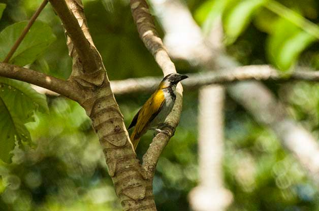 While not exceptionally common, I should find this Black-headed Saltator during my time in Costa Rica.