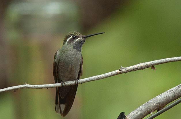 I photographed this Blue-throated Hummingbird at Miller Canyon in Southeast Arizona. It's one of the larger species in the area and this one was a big bully at the feeders!