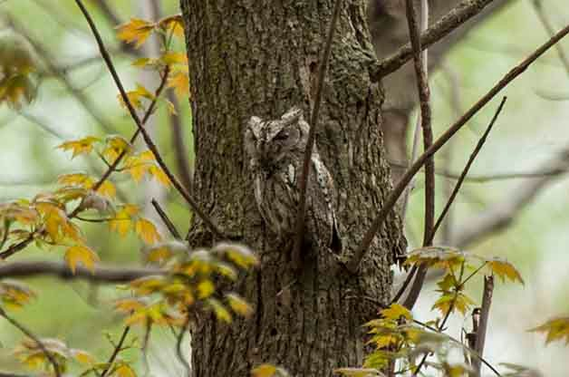 This Eastern Screech-Owl had perched for the day along the boardwalk at Magee Marsh during the Biggest Week in American Birding. Hundreds of people got to enjoy seeing this individual!This Eastern Screech-Owl had perched for the day along the boardwalk at Magee Marsh during the Biggest Week in American Birding. Hundreds of people got to enjoy seeing this individual!