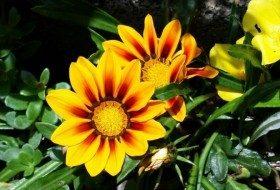 Gazania Flower Gardening