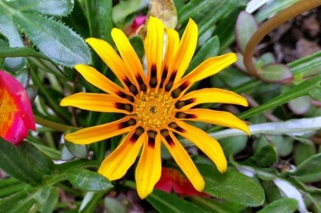 Gazania Flower Garden