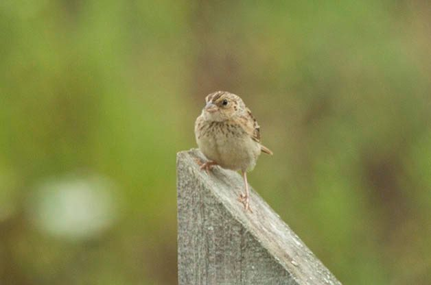 My brother and I found this  juvenile Grasshopper Sparrow at a tiny grassland that was accidentally created when a neighborhood was started but never ended up being built.