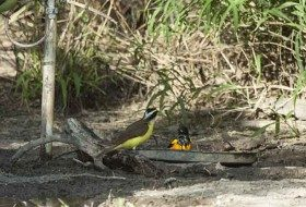 This Black-vented Oriole (A very rare bird in the US) was attracted to a water feature at Bentson Rio Grande State Park in south Texas several years ago. It was joined by a Great Kiskadee in this photo.