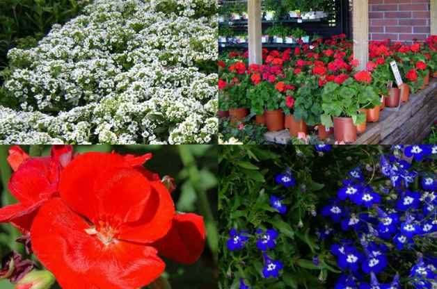 Container ideas red white and blue birds and blooms blue white and red petunias mightylinksfo