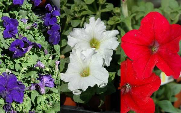 Blue, white and red petunias
