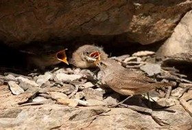 What to Do If You Find a Nestling or Fledgling