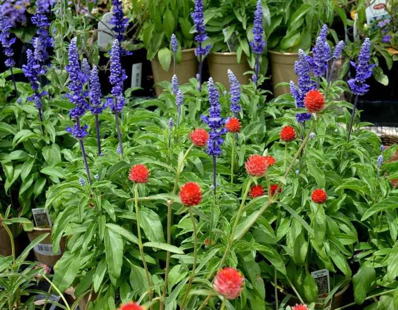 'Victoria Blue' salvia and red gomphrena