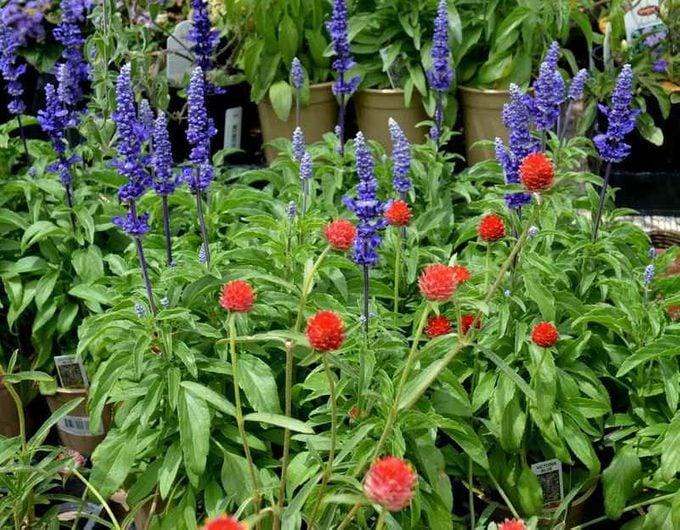 'Victoria Blue' salvia and red gomphrena