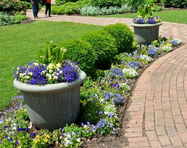 Violas, lobelia and Swiss chard in containers
