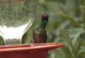 This White-eared Hummingbird is enjoying a feeder in Southeast Arizona.