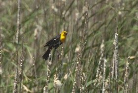 While many people would consider Yellow-headed Blackbirds to be more of a western species, we have a small nesting population in Indiana. Of course you can see thousands of this species by traveling to Great Plains and Prairie Pothole region.
