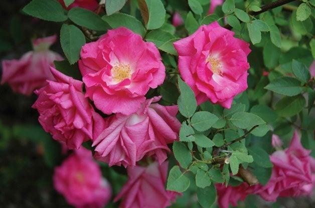 Top 10 Best Roses: Zephirine Drouhin