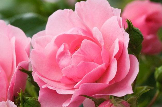 Top 10 Best Roses: Bonica