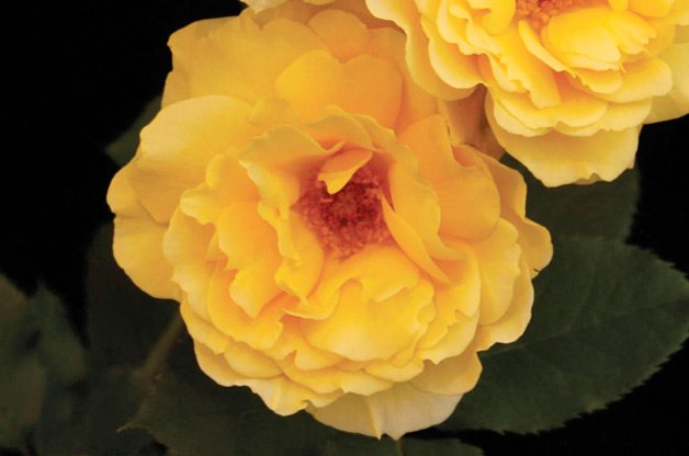 Top 10 Best Roses: Honey Perfume