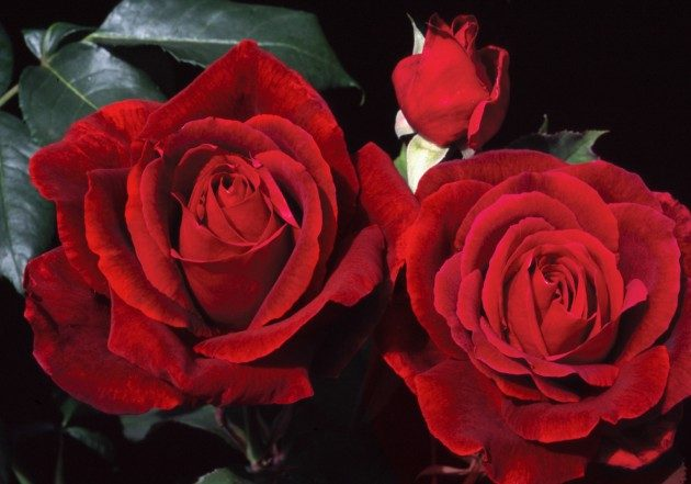 Top 10 Best Roses Birds And Blooms