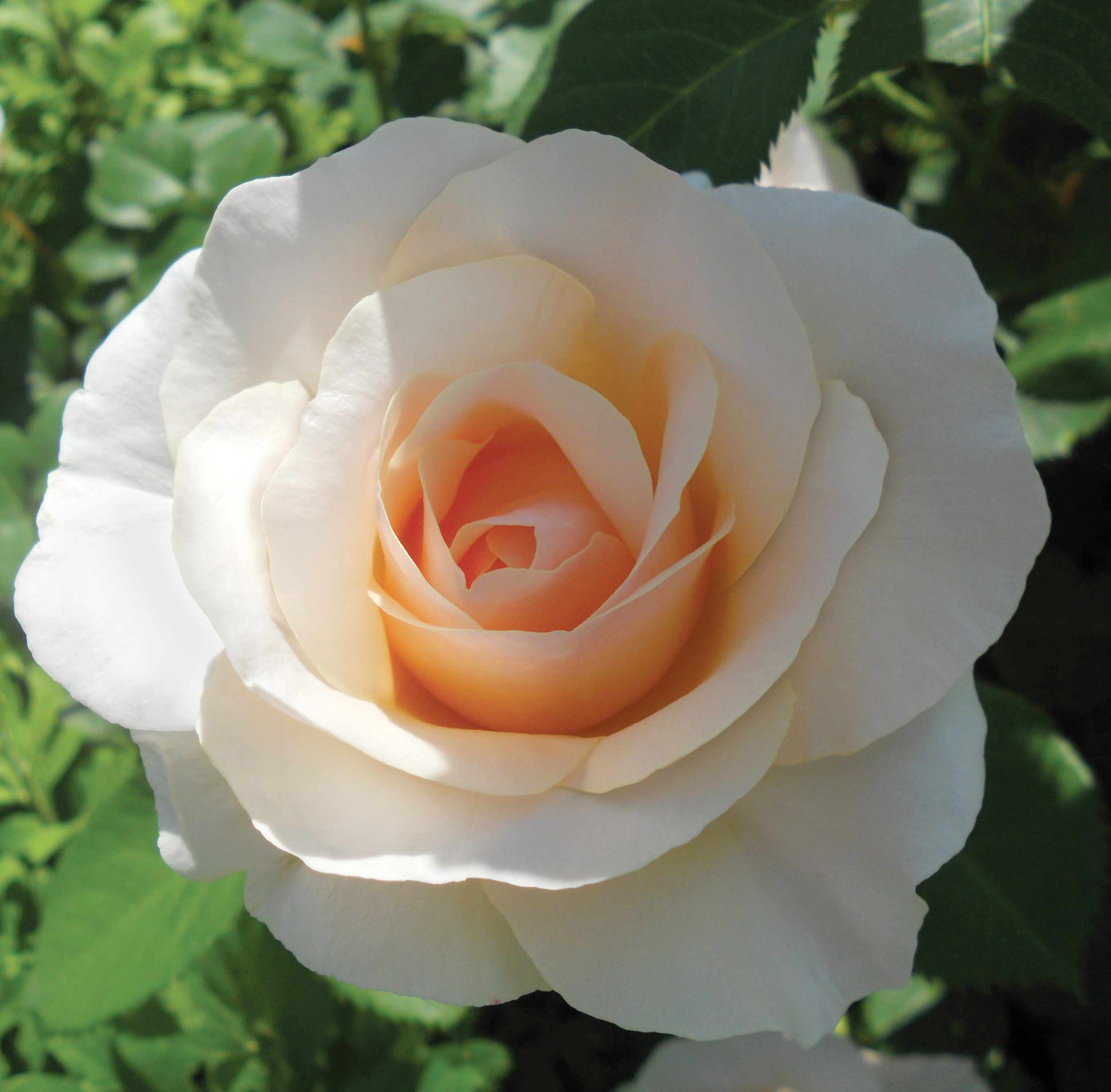 Top 10 Best Roses Mother Of Pearl