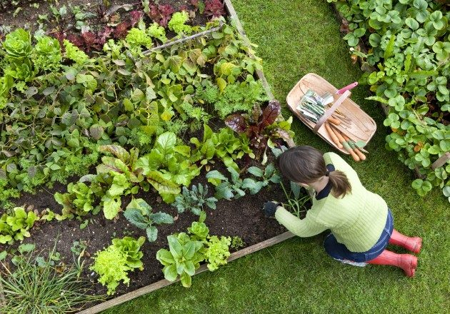 BACKYARD TIP: Once you harvest the spring veggies from your community garden, don't stop there. Go ahead and plant another round of plants or seeds for late summer and fall.