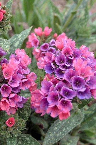 Container Ideas: Lungwort