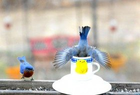 Friday Funny Photography: Tea for Eastern Bluebirds