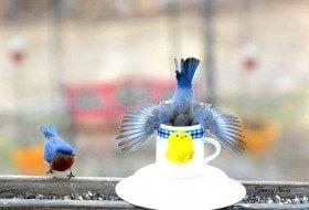 Friday Funny Photography: Tea for Eastern Bluebirds