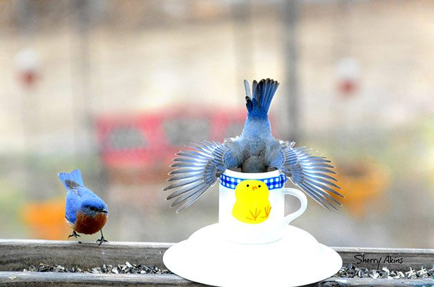Friday Funny Photography: Cup of Eastern Bluebirds