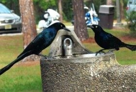Friday Funny Photography: Grackle Gathering