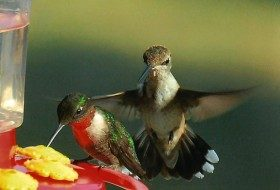 Friday Funny Photography: Ruby-Throated Hummingbirds in a Row