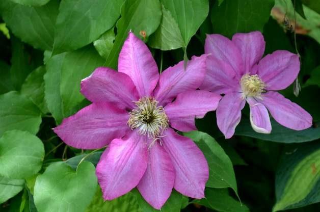 pink clematis
