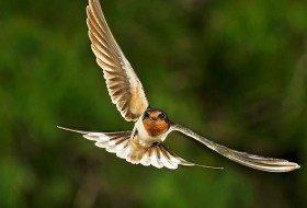 Swallows: The Songbirds of the Sky