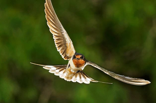 BORN IN A BARN Barn swallows (pictured here) are the most abundant swallows in the world. These songbirds used to nest in caves, but now build their nests in the eaves of barns and other structures.