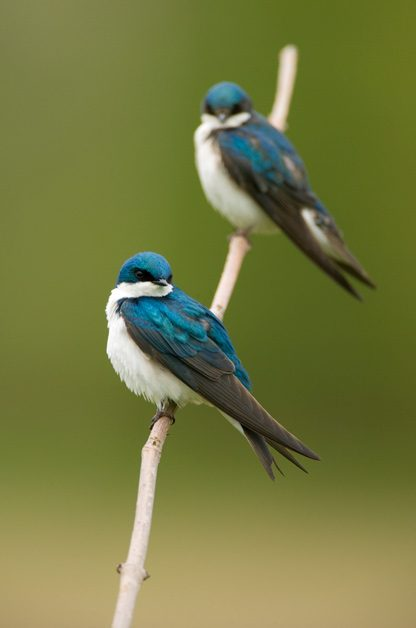 GREAT TO BE BLUE Tree swallows (pictured here) have a beautiful blue sheen to their feathers. Adult females are almost as colorful as males. Juveniles are more brown overall.
