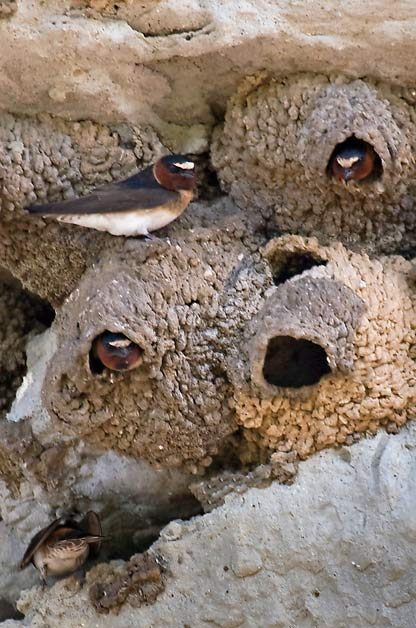 swallows nests