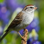 Identifying Chipping Sparrows