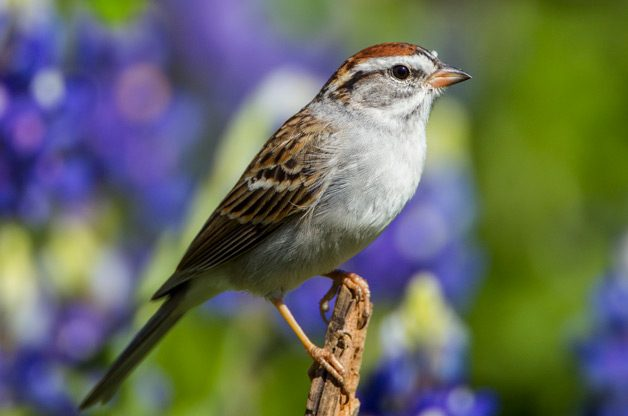 Identifying sparrows: Look for the eye line to ID chipping sparrows. This one is pictured with Texas lupines.