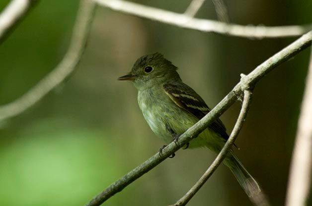Flycatchers tend to be more difficult to identify and BirdSnap has some trouble with this one. Acadian Flycatcher was not listed among the 6 species that were suggested.